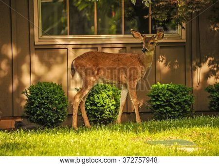 This Is A Photo Of A Young Doe Deer.