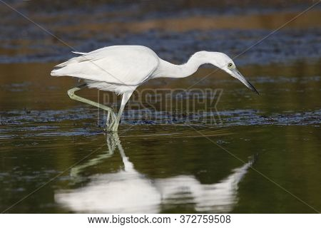 A Juvenile Little Blue Heron, Egretta Caerulea Walking In Shallow Water In A Pond In Florida Showing