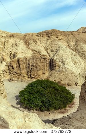 Israel. The Dead Sea, Judean desert. Green desert acacia. Ancient ruined mountains of solid limestone. Traces of weathering are visible in the walls of the canyon