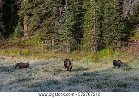 Wild Moose Living In The Forests Of The Colorado Rocky Mountains. Cow Moose With Two Calves Grazing