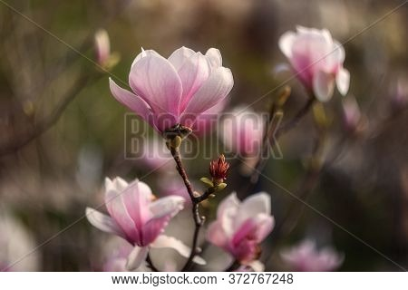Beautiful Pink Magnolia Soulangeana Flowers On A Tree. In The Spring Garden, Magnolia Blooms With Th