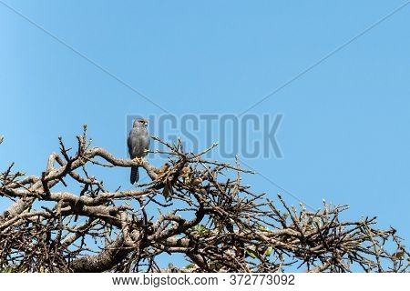 Grey Kestrel, falco ardosiaceus, perched in a tree in the Masai Mara against a clear blue sky background. This bird of prey, with soft grey plumage, will watch for small rodents and lizards to eat.