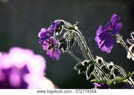 Fluffy Escapes Of A Geranium With Violet Flowers And Not Opened Buds Are Contrastly Allocated With A