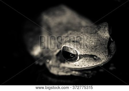 Very Close Photo Of The Leucomystax Polypedate Frog With Eye Focused. Image Of Common Tree Frog, Fou