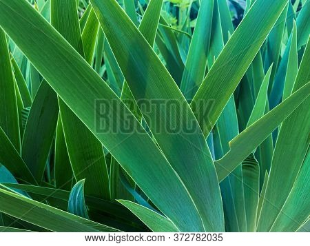 Long Green Leaves Of Plants. Summer Nature. Beautiful Natural Background. Bright Green Color.