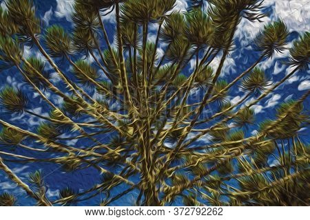 Pine Treetops Branches In Aparados Da Serra National Park Near Cambara Do Sul. A Small Country Town