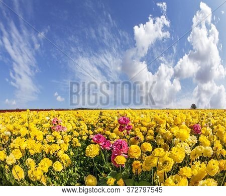 Picturesque fields of blooming large red and yellow buttercups - ranunculus. Flying clouds on a windy spring day. The concept of botanical, environmental and photo tourism