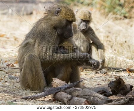 Chacma baboon mother holds her young infant keeping him safe in Hwange, Zimbabwe with bokeh