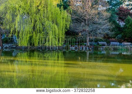 Pond And Green Trees In Minoru Park Richmond British Columbia At Sunny Day.