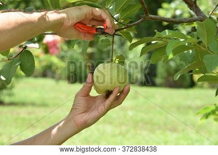 The Hands Of Agriculture Are Cutting Or Harvesting Fruit Organic Guava Fruit. Fruit For Health Green