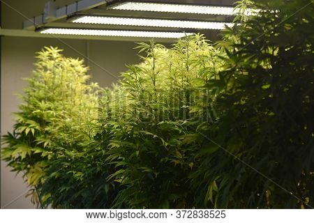Marijuana Leaves, Cannabis In The Greenhouse Background, Indoor Cultivation Commercial Marijuana Gro