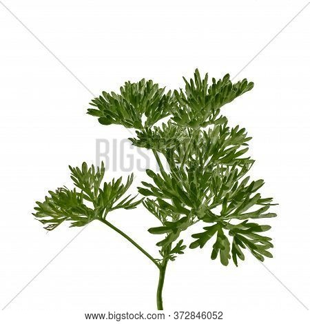Young Juicy Stalk Of Artemisia Absinthium With Lush Green Leaves, Isolated On White Background. Worm