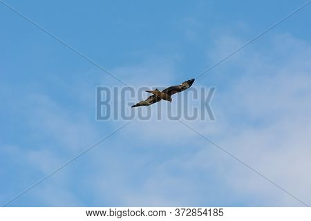 A Red Kite (milvus Milvus) With A Bright Blue Sky As Background. The Red Kite Is A Bird Of Prey In T