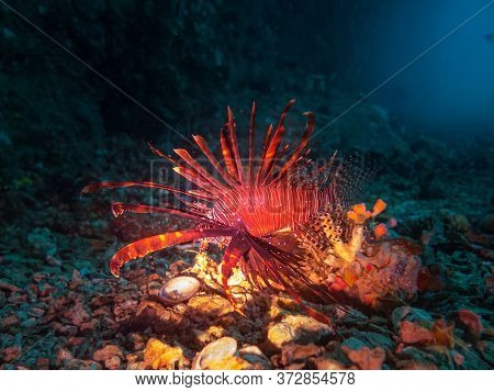 A Lionfish Lit Up With A Torch Near The Entrance Of A Cave At Gato Island, Malpascua, Philippines