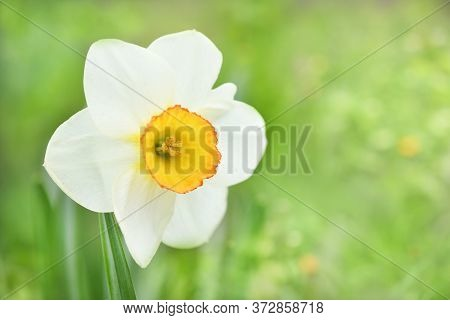 Bright Blooming White Daffodil . Flowering Narcissus Flowers. Spring Daffodils. Shallow Depth Of Fie