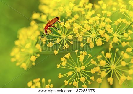 Red insect on yellow flower