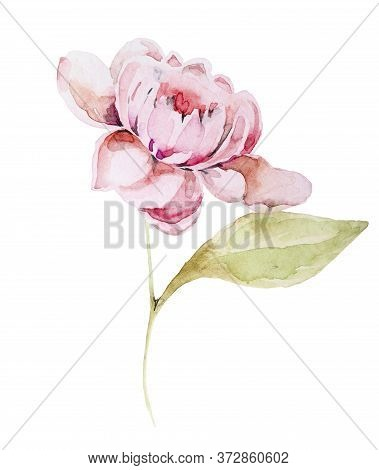 Watercolor Hand Drawn Peony Isolated On White Background