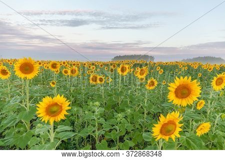 Sunrise Over The Field Of Sunflowers Against A Cloudy Sky. Beautiful Summer Landscape. Selective Foc