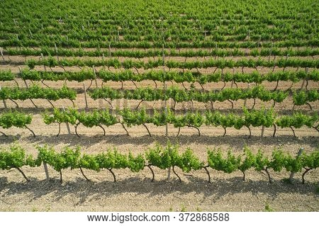 Aerial view of vineyard grapevine meadow. Abstract and texture  nature look.