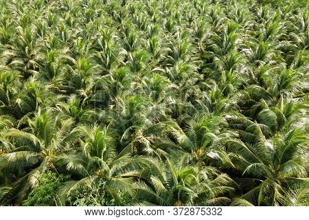 Aerial View Nature Of Coconut Palm Trees. Palm Oil Industrail Tree Plantation Pattern.