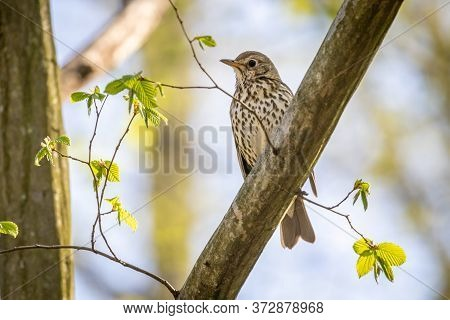 Song Thrush (turdus Philomelos) In The Forest