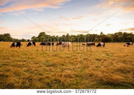 The Herd Of Colorful Cows Grazing In The Golden Field.
