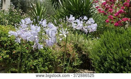 Agapanthus Or Lily Of The Nile Flowers Against Shrub Background