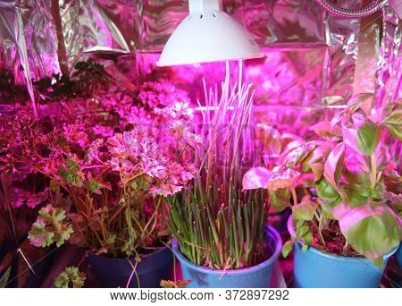 Home Made Herbs Garden With Violet Grow Light