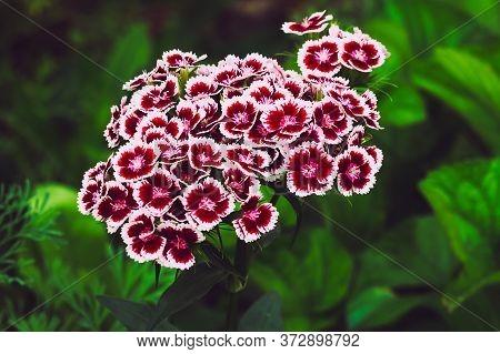 Carnation Flower. Close Up Blooming Carnation Glory Pink Flower Dianthus Caryophyllus, Carnation Clo