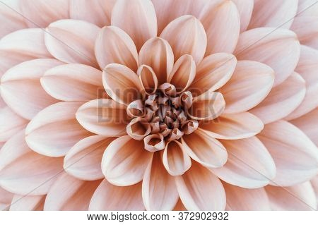 Defocused Pastel, Peach, Coral Dahlia Petals Macro, Floral Abstract Background. Close Up Of Flower D