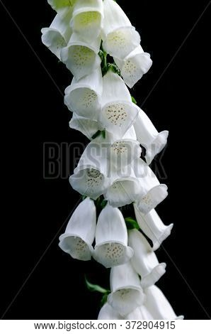Unusually Beautiful White Garden Digitalis On A Black Background