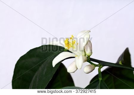 Blooming Subtropical Lemon Tree Plant With Fragrant Flowers Grown In The Apartment.