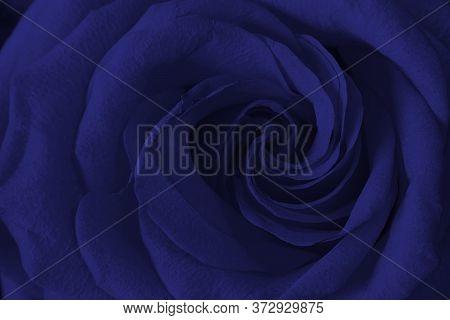 Close Up Of Fresh Phantome Blue Rose With Helix Petals, Horizontal Macro Shot For Postcard, Wallpape