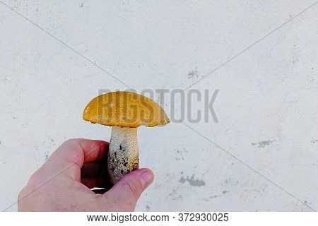 Human Hand Picks A White Mushroom. Looking For Mushrooms In The Forest. Male Hand Pick A Big Cep Mus