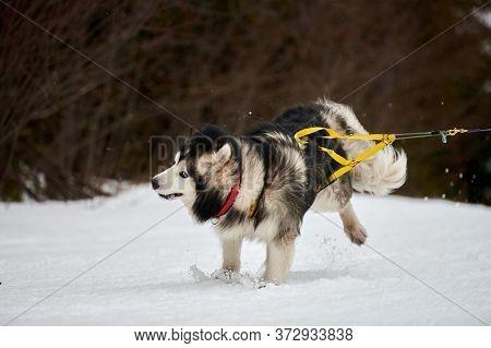 Running Malamute Dog On Sled Dog Racing. Winter Dog Sport Sled Team Competition. Alaskan Malamute Do