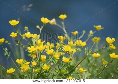 Beautiful Fresh Yellow Buttercup Flowers On Blurred Blue Water Background In Summer Sunny Day