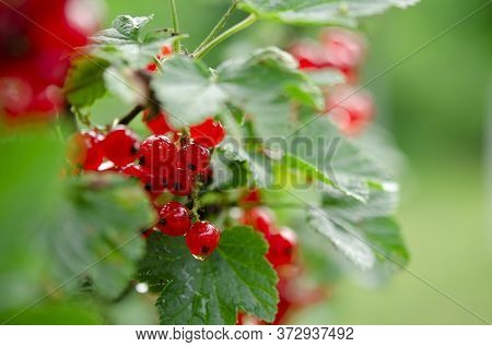 Red Berries Of Red Currants On A Green Bush In The Garden Post Rain
