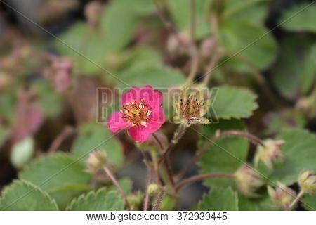 Ornamental Strawberry Pink Panda - Latin Name - Fragaria X Ananassa Pink Panda