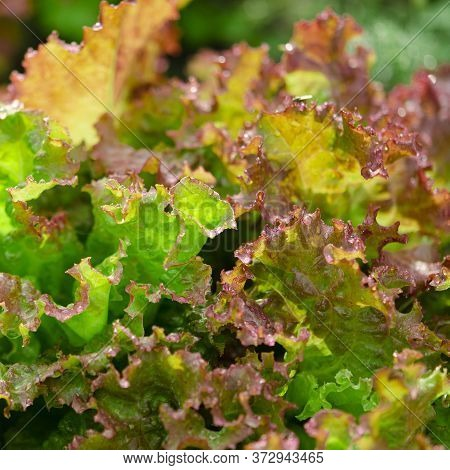 Bright Lettuce Leaves In The Garden After The Rain In The Sun