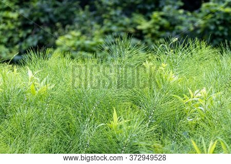 Equisetum Arvense, The Field Horsetail Or Common Horsetail Near A Forest
