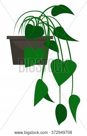 Plant In Black Pot With Green Leaves. Vegetation That Grown Indoor In Potting Soil. Isolated Botanic