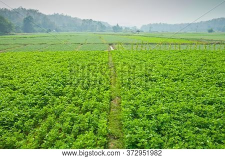A Green Field Of Choy Sum Is Growth At Vegetable Garden Farm Located At North Of Thailand