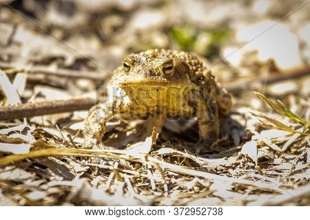 European Common Toad (bufo Bufo) In The Forest
