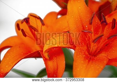 Raindrops On The Petals Of An Orange Garden Lily