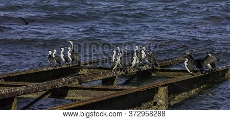A Group Of Australian Pied Cormorants On A Wharf In Kangaroo Island, Australia, On A Sunny Day.