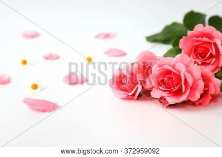 Beautiful Red Rose Flowers On A White Background With Tender Petals, Bouquet, Isolated. Blooming Rom