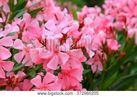 Flowers Of Pink Oleander, Nerium Oleander, Bloomed In The Spring. Shrub, A Small Tree From The Corne