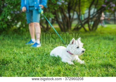 The Little Cute White West Highland White Terrier Dog Is Lying On The Green Grass. In The Background