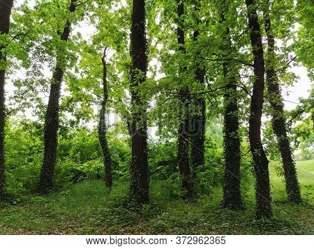 Deciduous Forest. Jungle. Subtropical Or Temperate Continental Climate. Creepers On Tree Trunks. Thi