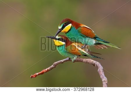 Couple Of European Bee-eater Copulating On A Twig In Mating Season